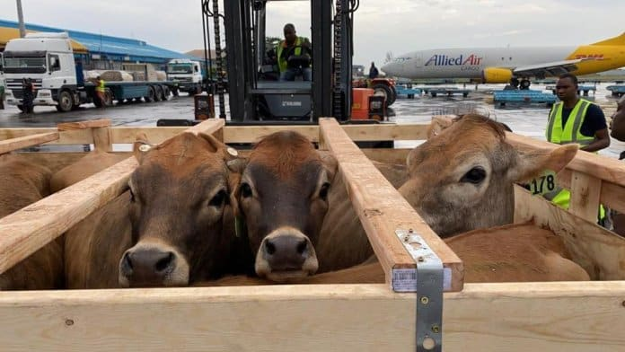 Drama At Lagos Airport As 250 Cows From US Arrive Nigeria (Video)