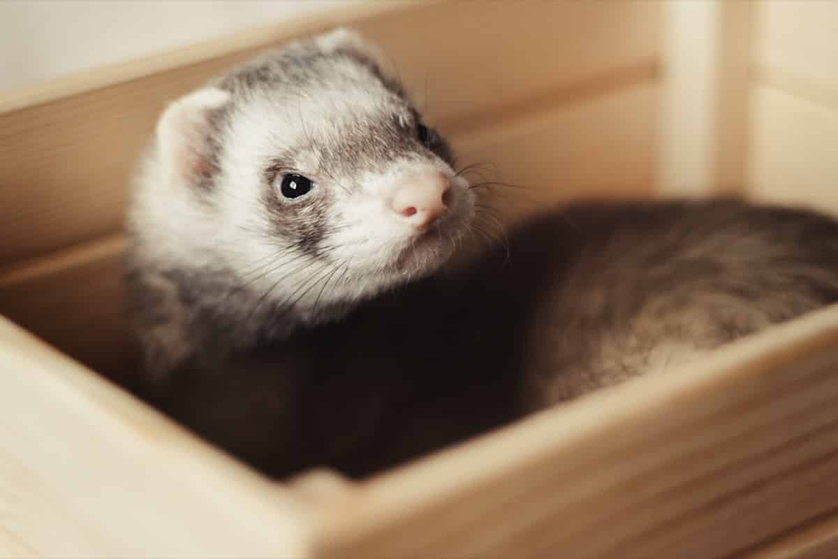 Ferret in box